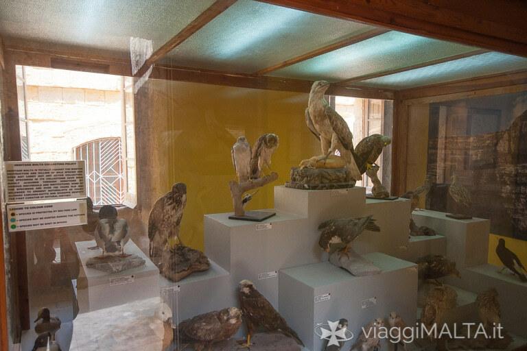 collezione di uccelli imbalsamati all'interno del Museo delle scienze naturali a Gozo