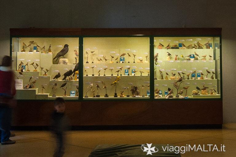 Sala dedicata agli uccelli nel museo di storia naturale di Mdina